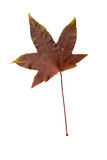 Closeup Photograph of autumnal withering maple tree or acer tree Royalty Free Stock Photos