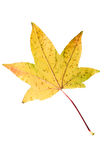 Closeup Photograph of autumnal withering maple tree or acer tree. Leaf isolated on white background in high resolution stock images