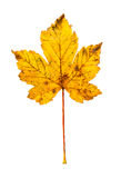 Closeup Photograph of autumnal withering maple tree or acer tree. Leaf isolated on white background in high resolution stock photos