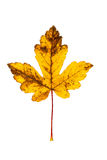 Closeup Photograph of autumnal withering maple tree or acer tree. Leaf isolated on white background in high resolution royalty free stock photography