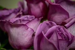 Bouquet of Purple Roses. Closeup photograph of a bouquet of purple roses stock images