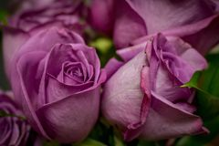 Bouquet of Purple Roses stock image