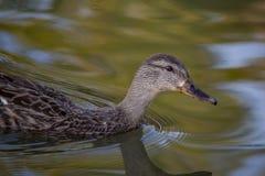 Mallard. Closeup photograph of a female mallard duck on a pond Royalty Free Stock Image