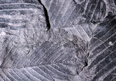 Closeup photograph of fossil leaf remains Stock Images