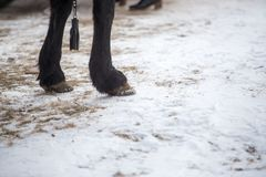 Closeup photograph of horse legs as they stand in the crisp winter snow royalty free stock photography