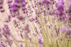 Levanda. Closeup photograph of levanda blooms , background image stock photos