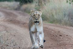Closeup photograph of an Lioness walking on a dirt road. In Pilanesberg natioanal park royalty free stock photography