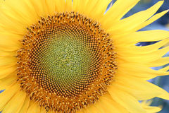 Sunflower up close  Royalty Free Stock Photo