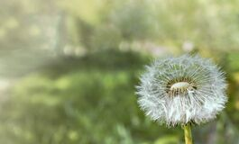 Closeup Photograph of White Dandelion Stock Images