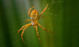Closeup Photography of Argiope Spider on Web Royalty Free Stock Photo