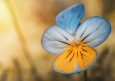 Closeup Photography of Blue and Yellow Pansy Flower royalty free stock image