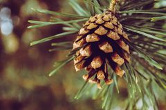 Closeup Photography of Brown Pine Cone Stock Image
