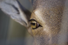 Closeup photography of the eye of a Barbary sheep Royalty Free Stock Image