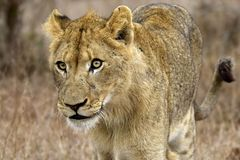 Closeup Photography of Lioness Stock Image