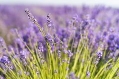 Closeup Photography of Purple Petaled Flower Field royalty free stock photography