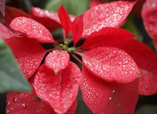 Closeup Photography Of Red Poinsettia With Water Droplets Royalty Free Stock Images