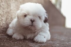 Closeup Photography of White Long Coated Puppy Stock Photos