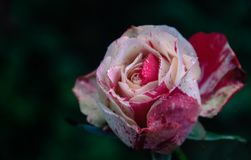 Closeup Photography of White and Pink Rose Flower stock photo