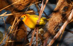 Closeup Photography of Yellow Bird Perched Royalty Free Stock Photography