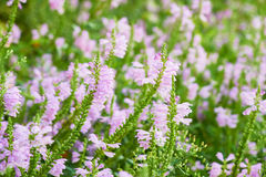 Closeup of Physostegia virginiana Royalty Free Stock Photos
