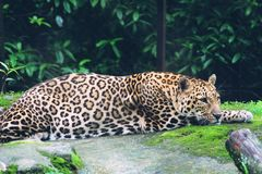 A closeup pic of a jaguar in zoological park, royalty free stock images