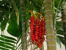 Closeup picture of areca nuts stock images