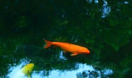 I am orange carp fish royalty free stock images