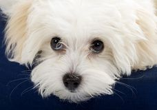 Closeup picture of a bichon cute eyes Stock Images