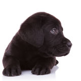 Labrador retriever puppy dog looking at something stock image