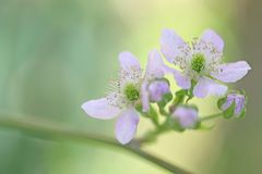 Closeup picture blackberry flower Stock Photography