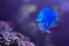 Blue Damselfish. Closeup picture of a Blue Damselfish in a home aquarium Stock Photography