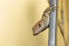 Brown anole lizard. Closeup picture of a Brown Anole Lizard in Florida stock photos