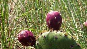 Closeup picture of a cactus fruit stock image
