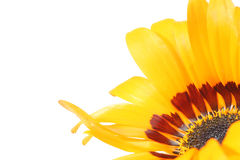 Closeup picture of calendula Royalty Free Stock Photography