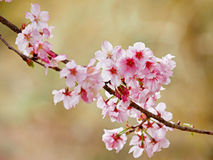 Closeup Picture of Cherry Blossom Stock Images
