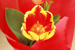 Colorful tulip. Closeup picture of a colorful tulip in red wrapping paper Stock Photography