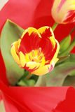 Colorful tulip. Closeup picture of a colorful tulip in red wrapping paper Royalty Free Stock Images