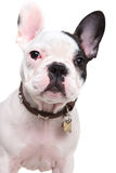 Closeup picture of a cute french bulldog puppy royalty free stock photos