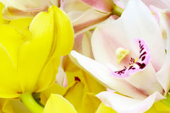 Closeup picture of cymbidium Stock Photography