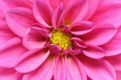 Closeup picture of a dahlia Stock Photo
