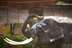 Closeup picture of an elephant head. Stock Photography