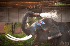 Closeup picture of an elephant head. Royalty Free Stock Photography