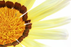 Closeup picture of gazania Royalty Free Stock Photos