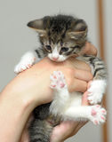Closeup picture of  hands holding little kitty. Stock Images