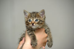 Closeup picture of  hands holding little kitty. Royalty Free Stock Images