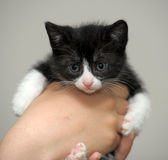 Closeup picture of  hands holding little kitty. Stock Photo