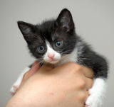 Closeup picture of  hands holding little kitty. Royalty Free Stock Photography
