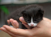 Closeup picture of  hands holding little kitty. Royalty Free Stock Image