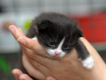 Closeup picture of  hands holding little kitty. Royalty Free Stock Photo