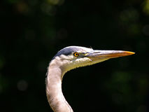 Closeup Picture of Heron Royalty Free Stock Images